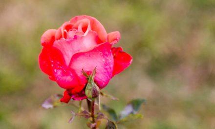Trandafirii mor